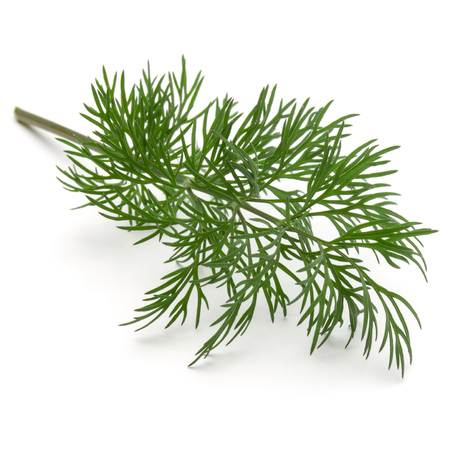 Close up shot of branch of fresh green dill herb leaves isolated on white background Stock Photo