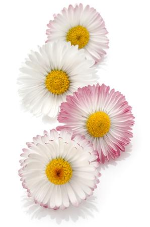marguerite: Beautiful daisy flowers isolated on white background cutout