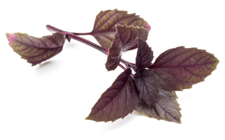 relish: Close up studio shot of fresh red basil herb leaves isolated on white background. Purple Dark Opal Basil.