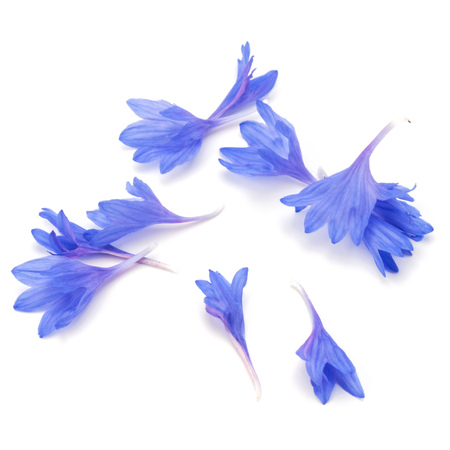 blue petals: Blue Cornflower Herb or bachelor button flower petals isolated on white background cutout Stock Photo