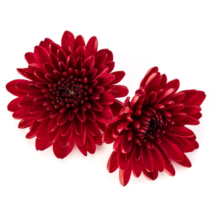 Red chrysanthemum flower isolated on white background stock photo red chrysanthemum flower isolated on white background stock photo 83813030 mightylinksfo