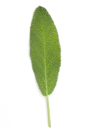 Sage leaves isolated on white background cutout. Stock Photo