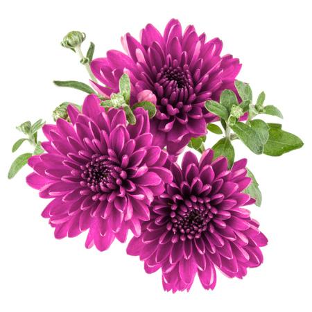 白い背景に分離されたライラックの菊の花 写真素材
