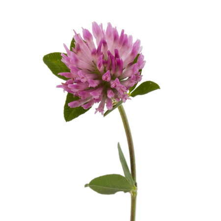 trifolium: Clover or trefoil flower medicinal herbs isolated on white background cutout Stock Photo
