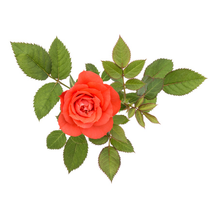 one orange rose flower with leaves isolated on white background cutout