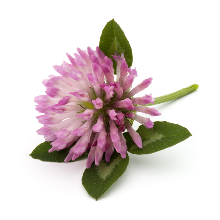 red clover: Clover or trefoil flower medicinal herbs isolated on white background cutout Stock Photo