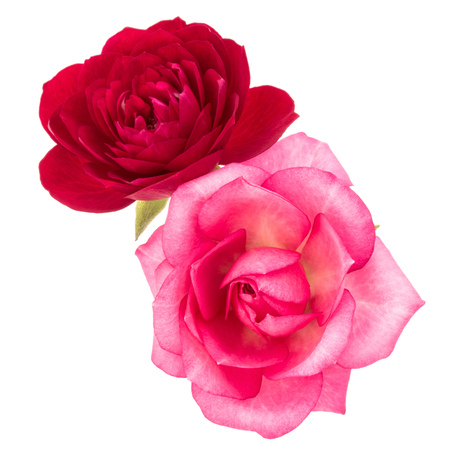 two red and pink rose flowers isolated on white background cutout