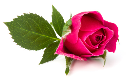 pink rose flower head isolated on white background cutout Stock Photo