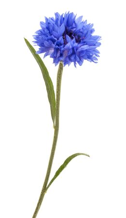 Blue Cornflower Herb or bachelor button flower head isolated on white background