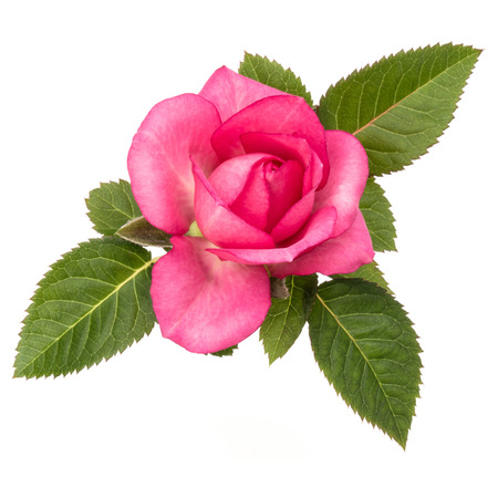 one pink rose flower with leaves isolated on white background cutout Stock Photo