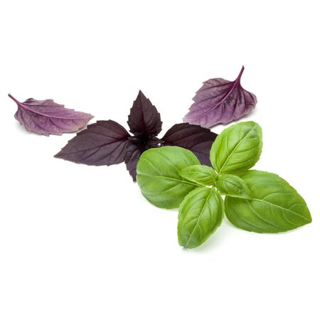relish: Close up studio shot of fresh green and red basil herb leaves mix isolated on white background. Sweet Genovese basil and Purple Dark Opal Basil.
