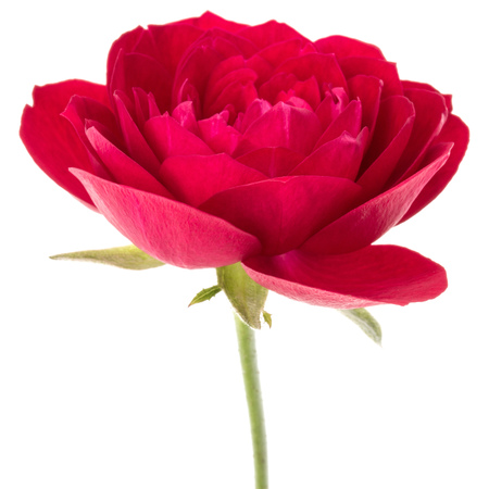 one red rose flower head isolated on white background cutout Stock Photo