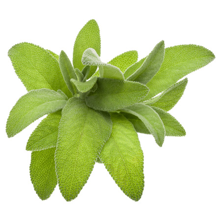 Sage Leaves Stock Photos And Images - 123RF