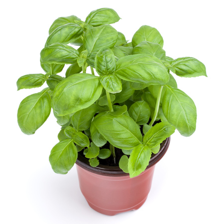 Fresh sweet Genovese basil herbs growing in pot isolated on white background cutout. Stock Photo