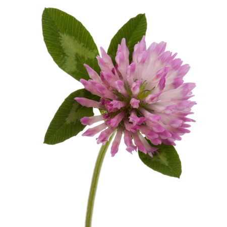 Clover or trefoil flower medicinal herbs isolated on white background cutout Stock Photo