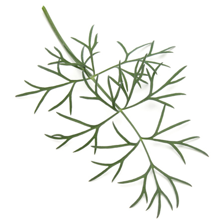 Close up shot of branch of fresh green dill herb leaves isolated on white background Reklamní fotografie