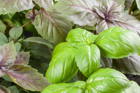 Basil herb leaves background close up. 写真素材