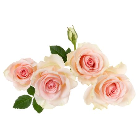 pink roses isolated on white background closeup. Rose flower bouquet in air, without shadow. Top view, flat lay.