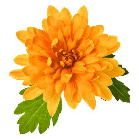 eine Chrysantheme Blüte mit grünen Blättern isoliert auf weißem Hintergrund Nahaufnahme. Gartenblume, keine Schatten, Draufsicht, flach.