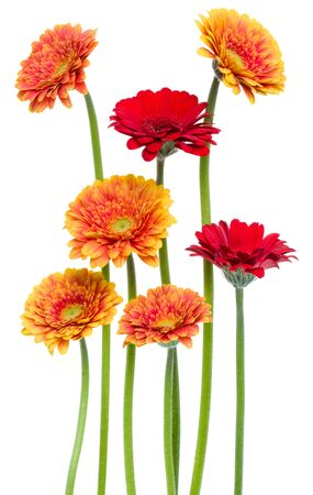 Vertical gerbera flowers with long stem isolated on white background. Spring bouquet.