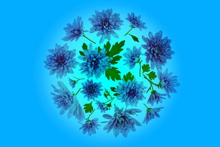 Chrysanthemum  Flowers composition. Round Frame made of blue  flowers on blue background, without shaddows. Festive background. Flat lay, top view. Stock Photo