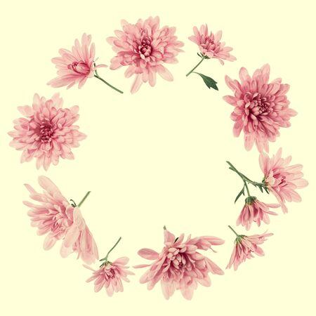 Zusammensetzung der Chrysantheme-Blumen. Rahmen aus rosa Blumen auf gelbem Hintergrund, ohne Schatten. Festlicher Hintergrund. Flache Lage, Ansicht von oben, Kopienraum.