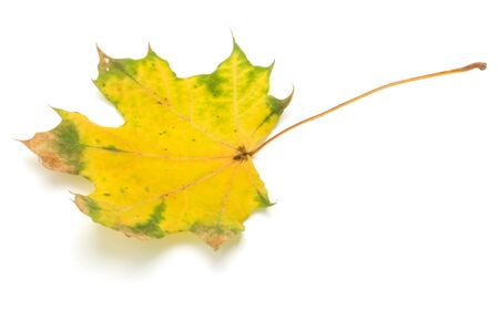 colorful autumn maple leaf isolated on white Stock fotó