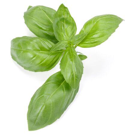 zioło słodkiej bazylii liście na białym tle. Liść bazylii Genovese.