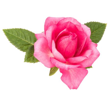 one pink rose flower with leaves isolated on white background cutout Zdjęcie Seryjne