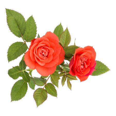 orange Rosenblumenstrauß mit grünen Blättern lokalisiert auf weißem Hintergrundausschnitt
