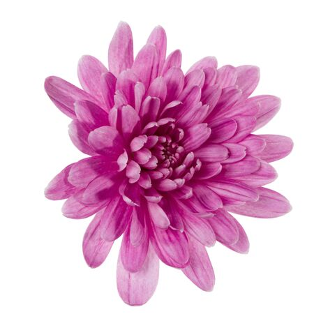one chrysanthemum flower head isolated on white background closeup. Garden flower, no shadows, top view, flat lay.