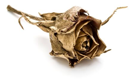 One gold rose isolated on white background cutout. Golden dried flower head, romance concept.