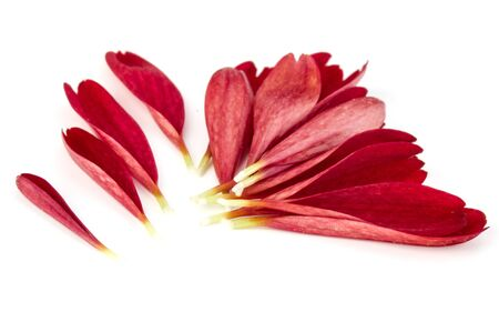 Red chrysanthemum flower petals isolated on white background