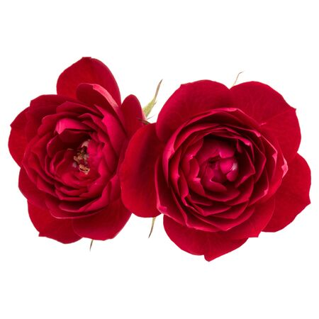 two red rose flower  isolated on white background cutout