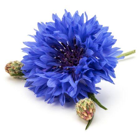 Blue Cornflower Herb or bachelor button flower head isolated on white background cutout Reklamní fotografie