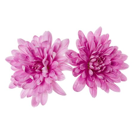 two chrysanthemum flower heads isolated on white background closeup. Garden flower, no shadows, top view, flat lay.