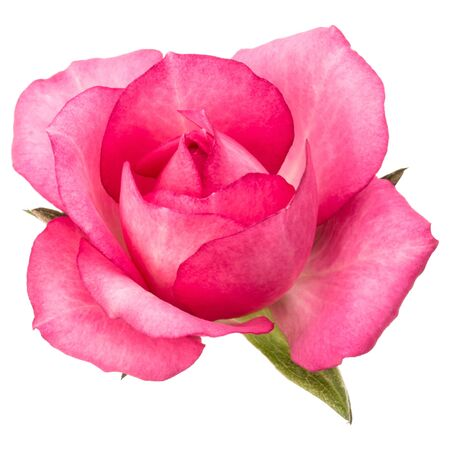 one pink rose flower isolated on white background cutout Zdjęcie Seryjne