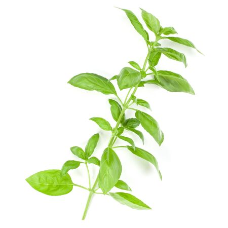 Sweet Genovese basil branch isolated on white background. Flat, Top view.