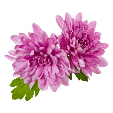 two chrysanthemum flower heads with green leaves isolated on white background closeup. Garden flower, no shadows, top view, flat lay.