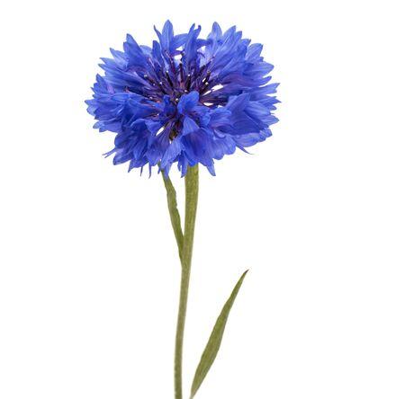Blauer Kornblumen-Kräuter- oder Junggesellenknopf-Blumenkopf lokalisiert auf weißem Hintergrundausschnitt