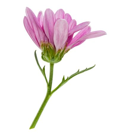one chrysanthemum flower head on green stem isolated on white background closeup. Garden flower, no shadows, top view, flat lay. Zdjęcie Seryjne