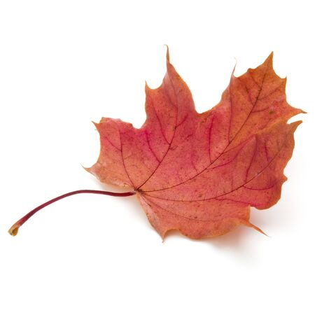 colorful autumn maple leaf isolated on white Stock fotó - 130164657