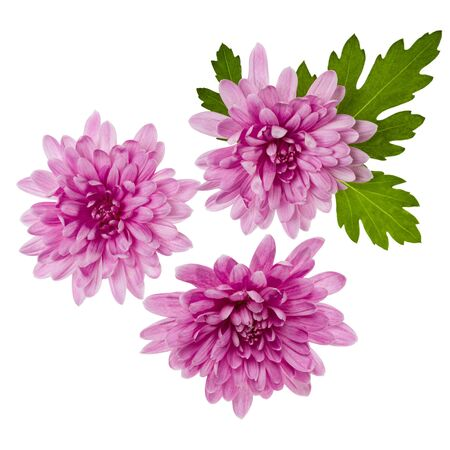 three chrysanthemum flower heads with green leaves isolated on white background closeup. Garden flower, no shadows, top view, flat lay.