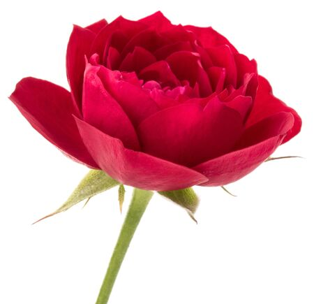 one red rose flower head isolated on white background cutout Zdjęcie Seryjne