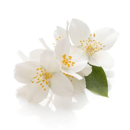 Jasmine flowers isolated on white background cutout Stockfoto