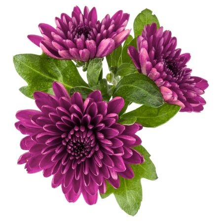 Lilac chrysanthemum flower isolated on white