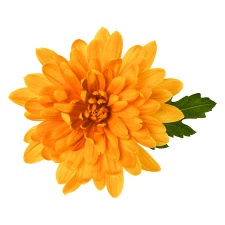 one chrysanthemum flower head with green leaves isolated on white background closeup. Garden flower, no shadows, top view, flat lay. Standard-Bild