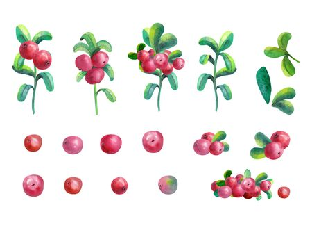 Ripe berry cowberry on white background is isolated. Clipart. Watercolor illustration Imagens
