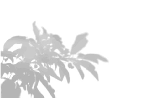 The shadow of tropical leaves on the white wall. The leaves of peony. Black and white image to overlay photos or layout.