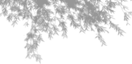 The shadow of tropical leaves on the white wall. Tree leaves. Black and white image to overlay photos or layout.